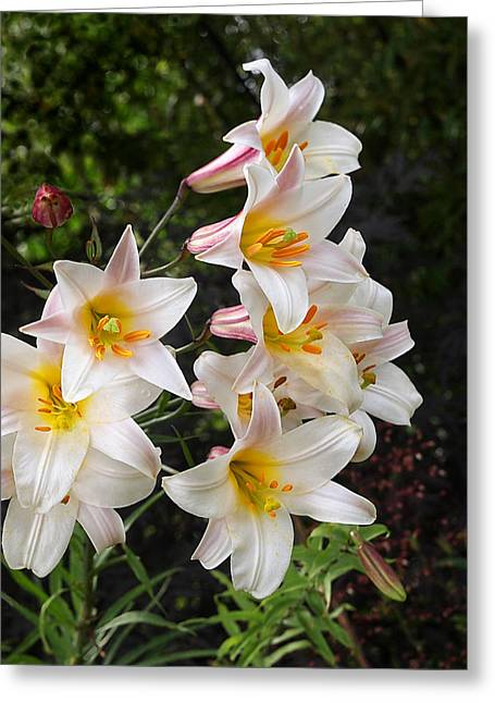 Cascade Of Glowing White Lilies Greeting Card