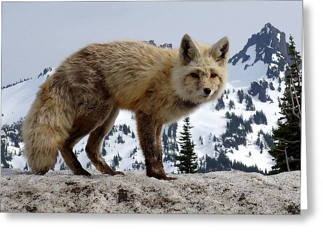 Cascade Red Fox 1 Greeting Card
