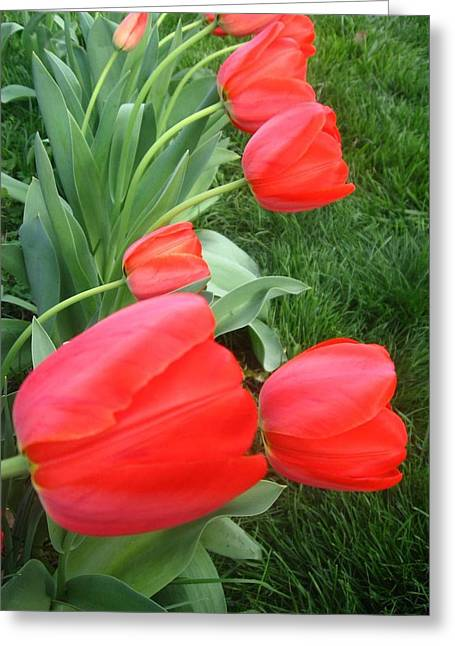 Cascading Red Spring Tulips Greeting Card