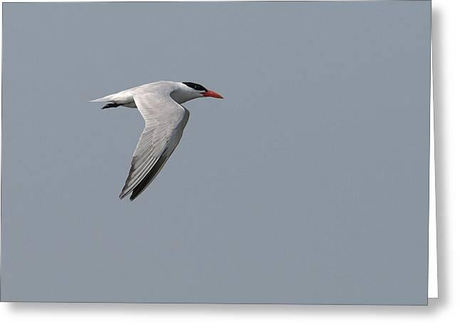 Caspian Tern Flight Greeting Card by Ward McGinnis