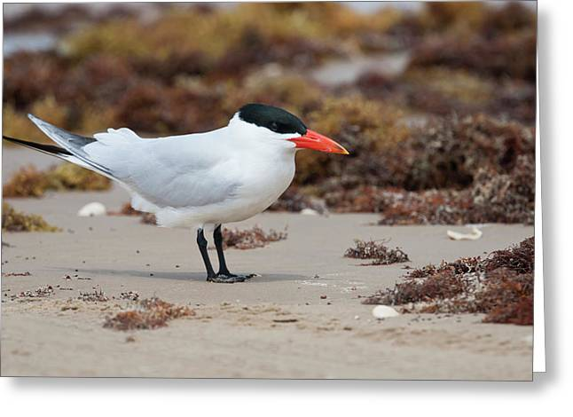 Caspian Tern (sterna Caspia Greeting Card by Larry Ditto