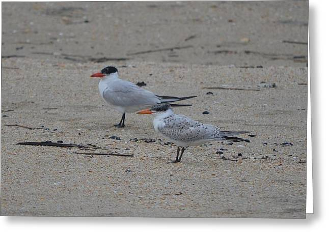 Greeting Card featuring the photograph Caspian Tern Young And Adult by James Petersen