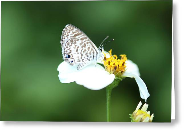 Greeting Card featuring the photograph Cassius Blue On Wildflower by Greg Allore