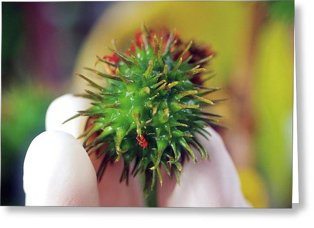 Castor Bean Pod Greeting Card
