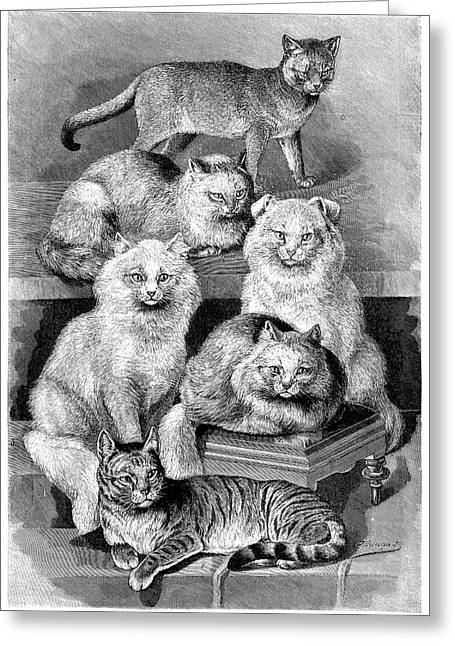 Cat Breeds Greeting Card