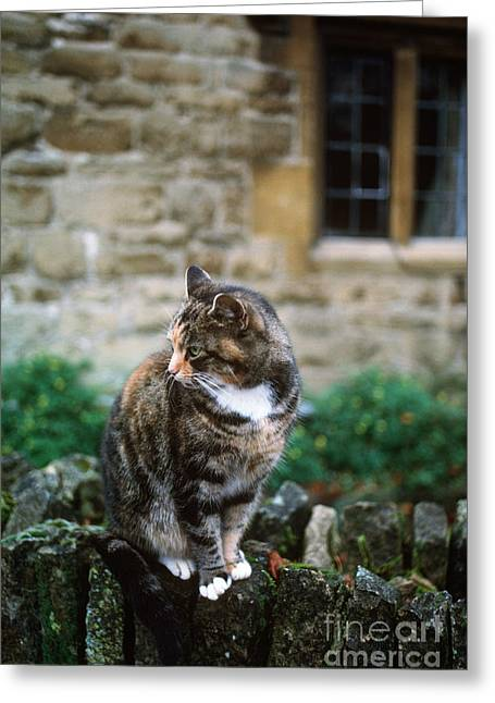 Cat In England Greeting Card by James L. Amos