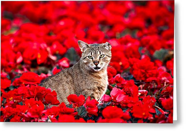 Cat In Red Greeting Card