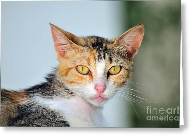 Cat In Sifnos Island Greeting Card