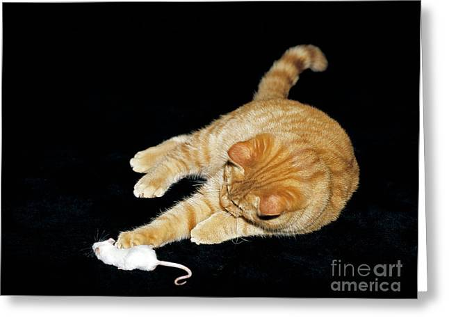 Cat Playing With Mouse Greeting Card by Tierbild Okapia