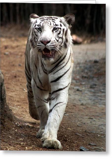 Cat Walk Greeting Card by Ramabhadran Thirupattur