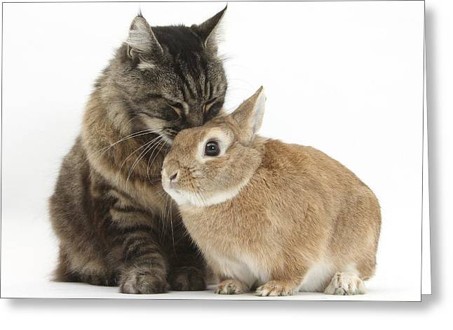 Cat With Guinea Pig Greeting Card by Mark Taylor