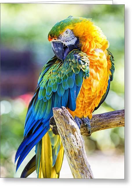 Catalina Macaw Greeting Card by Bill Tiepelman