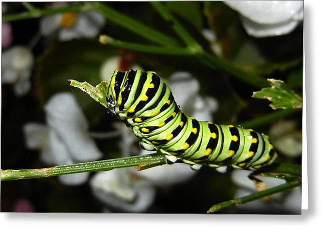 Greeting Card featuring the photograph Caterpillar Camouflage by Bill Swartwout