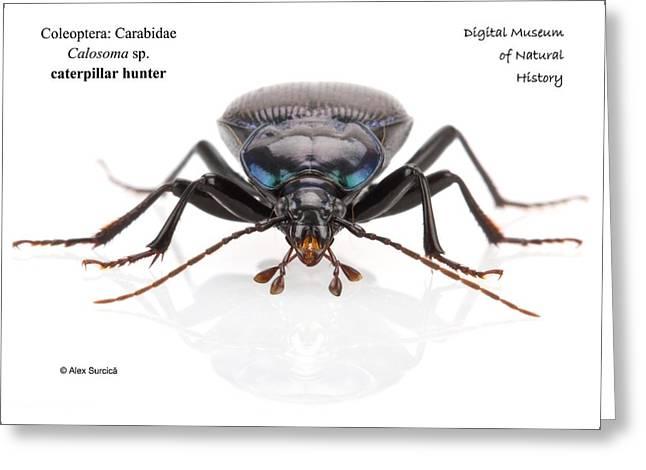Caterpillar Hunter Beetle Greeting Card by Alex Surcica