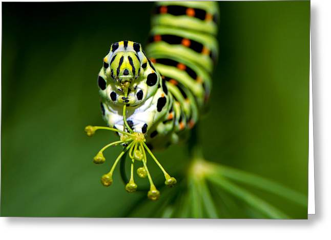 Caterpillar Of The Old World Swallowtail Greeting Card