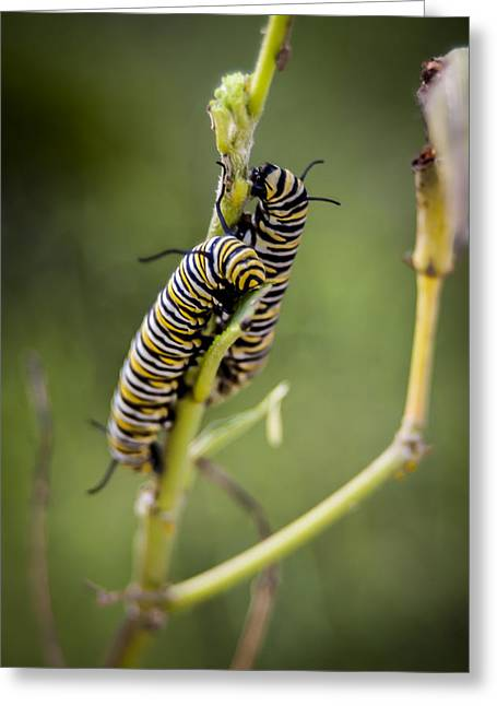 Caterpillars Breaking Free Greeting Card by Carolyn Marshall
