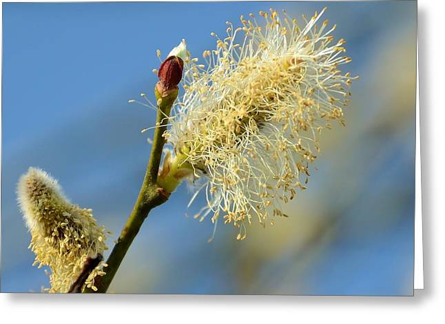 Catkin Flowering Greeting Card by Gynt