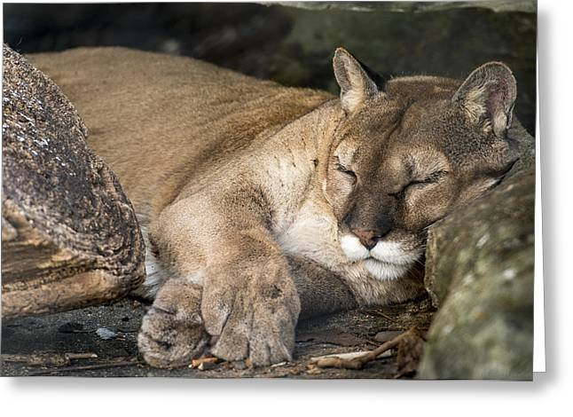 Catnap Greeting Card by Phil Abrams