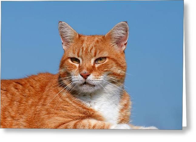 Cats 58 Greeting Card by Joyce StJames