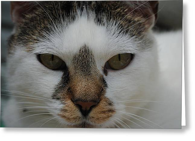 Cat's Stare Greeting Card