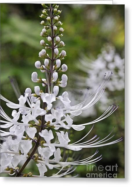 Cat's Whisker Flower In Garden Greeting Card