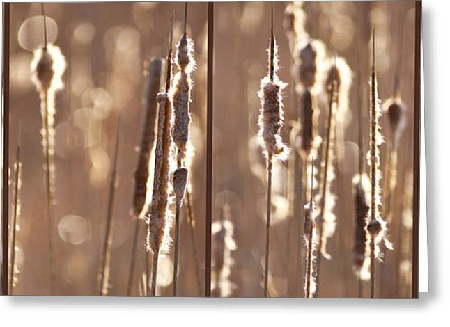 Cattails In The Light Greeting Card by Leda Robertson