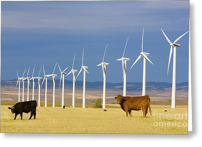 Cattle And Windmills In Alberta Canada Greeting Card
