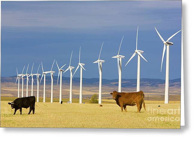 Cattle And Windmills In Alberta Canada Greeting Card by Yva Momatiuk and John Eastcott