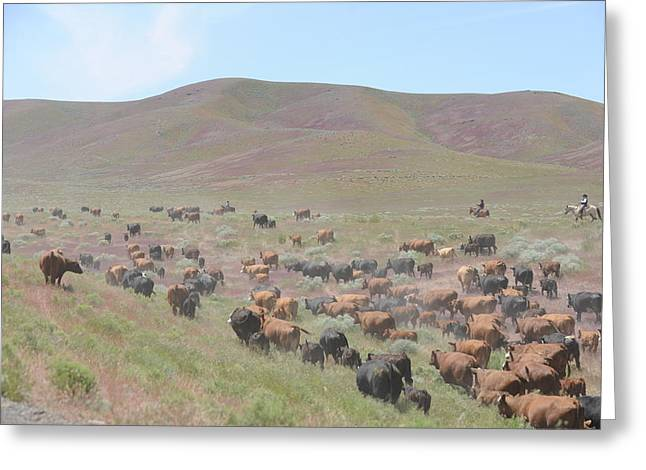 Cattle Drive In The Spring Greeting Card by Lee Raine
