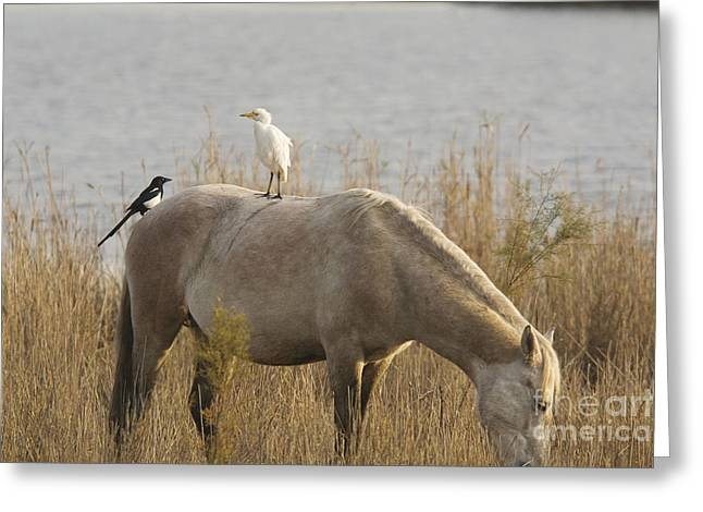 Cattle Egret And Magpie Pica Pica Greeting Card by Bob Gibbons