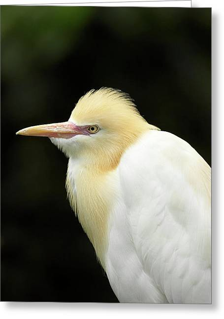 Cattle Egret (ardea Ibis Greeting Card by David Wall