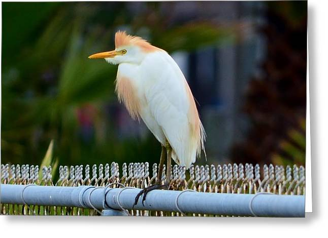 Greeting Card featuring the photograph Cattle Egret Breeding Plumage by Debra Martz