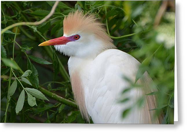 Cattle Egret In Breeding Season Greeting Card