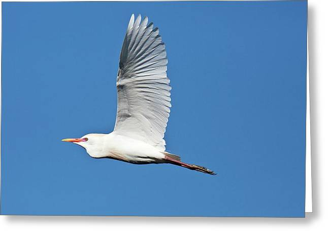 Cattle Egret In Flight Greeting Card by Bob Gibbons
