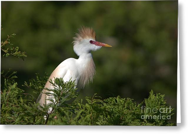 Cattle Egret No. 5 Greeting Card