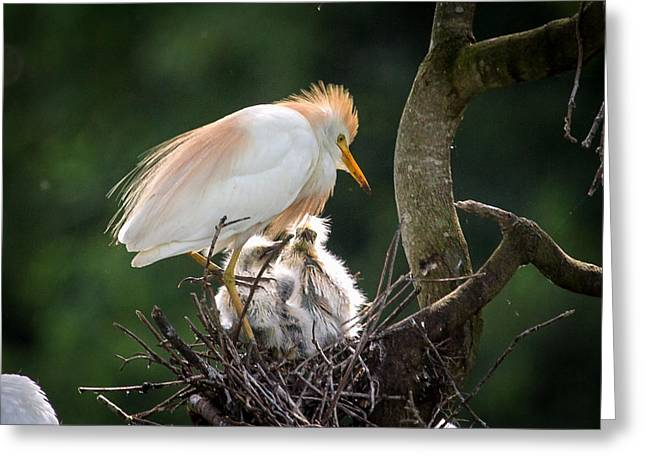 Cattle Egret Tending Her Nest Greeting Card