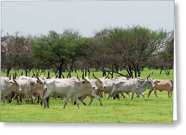Cattle Farming Greeting Card
