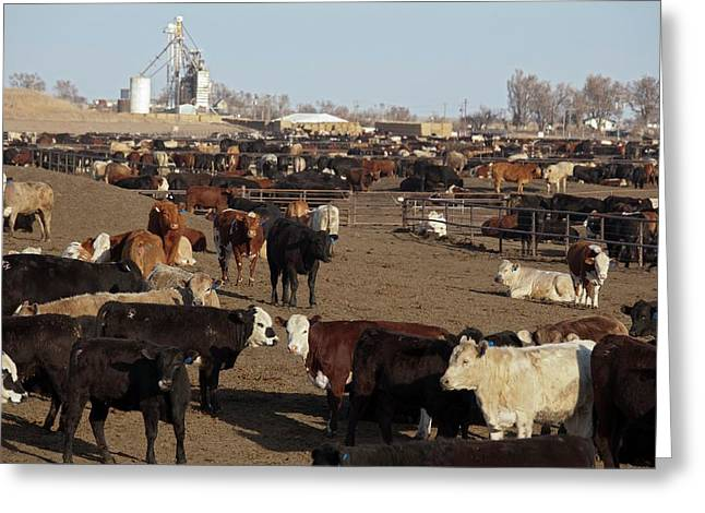 Cattle Feeding Yard Greeting Card by Jim West