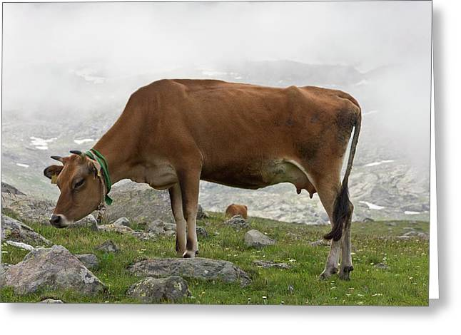 Cattle Grazing In The Pontic Alps Greeting Card by Bob Gibbons