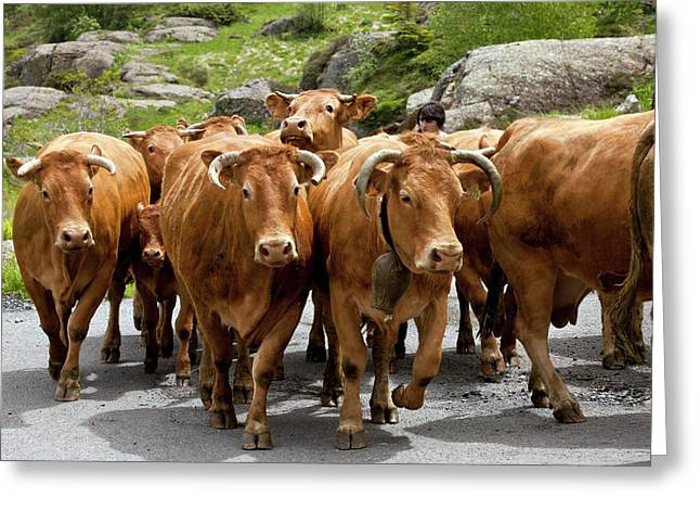 Cattle Herd Being Moved Greeting Card