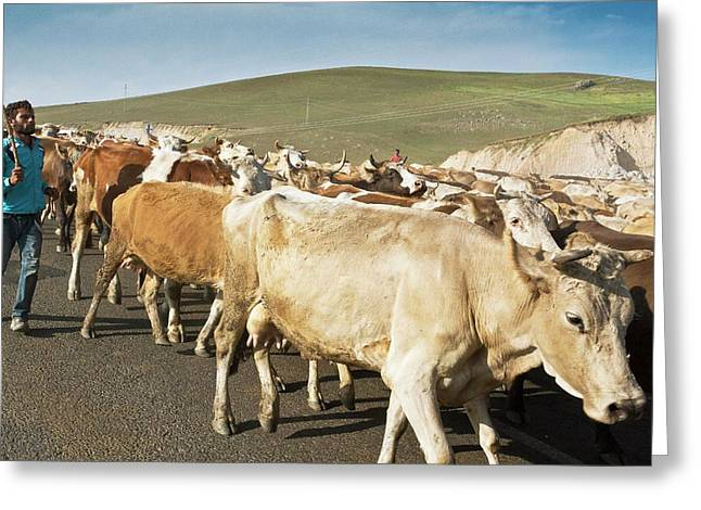 Cattle Herding Greeting Card by Bob Gibbons