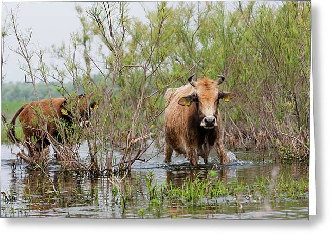 Cattle In The Flooded Danube Delta Greeting Card by Martin Zwick