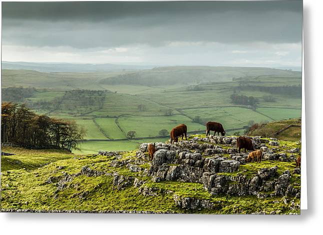 Cattle In The Yorkshire Dales Greeting Card