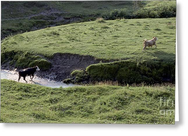 Cattle Running Greeting Card