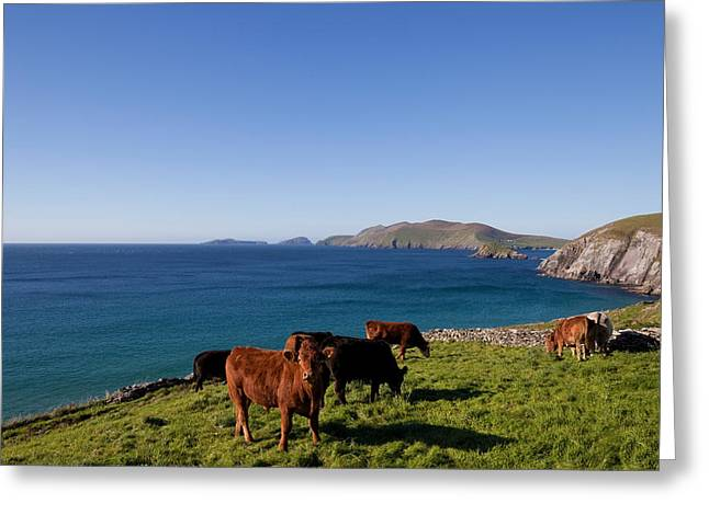 Cattle With Distant Blasket Islands Greeting Card