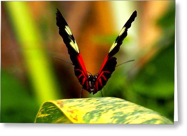 Greeting Card featuring the photograph Cattleheart Butterfly  by Amy McDaniel