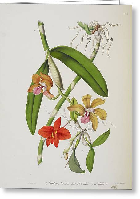 Cattleya Bicolor Greeting Card by British Library