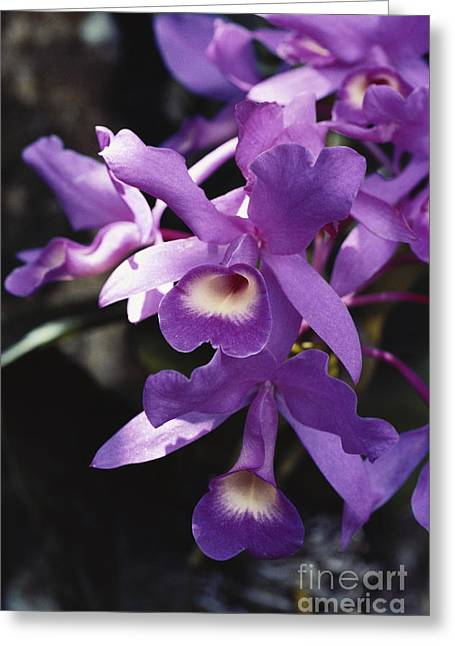 Cattleya Of Costa Rica Greeting Card