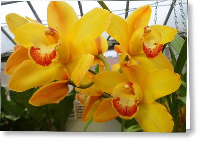 Cattleya Orchid Triplets Greeting Card