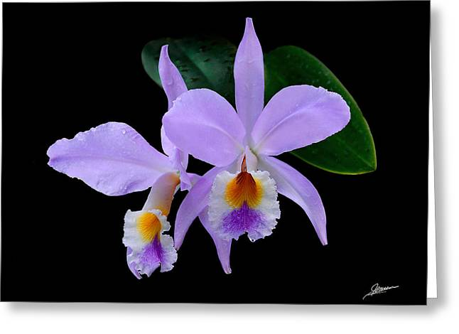 Cattleya Orchids Greeting Card by Phil Jensen